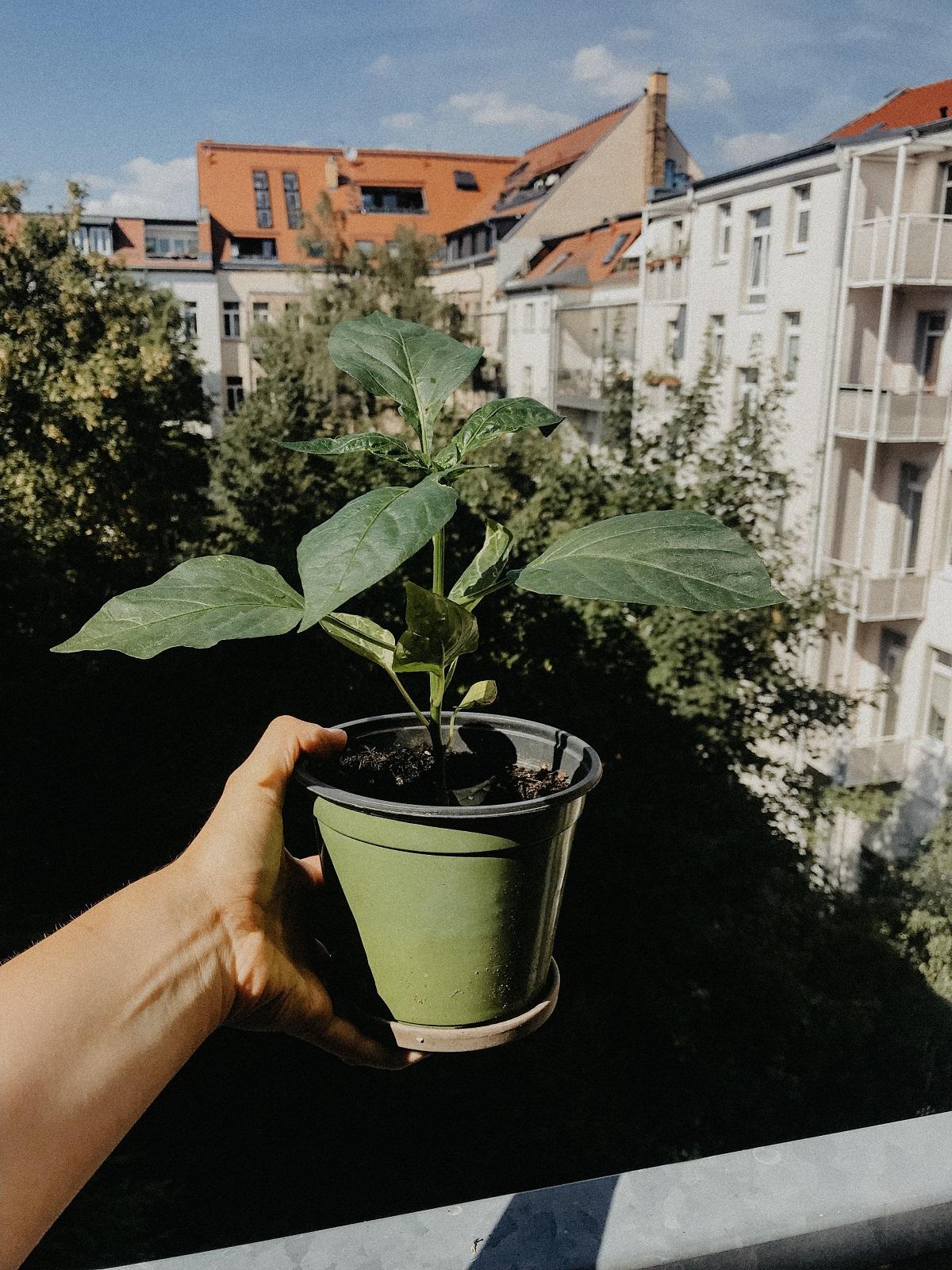 sommer-paprika-pflanze-balkon-leipzig-sonne